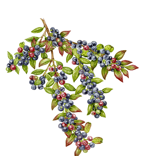 Wyld Huckleberry Edibles